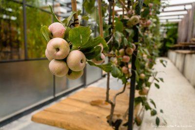 Manzanas en su árbol en Cubas